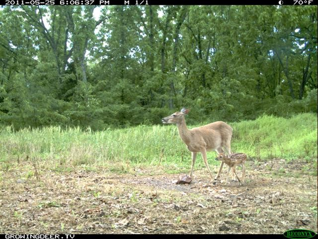 This picture was taken May 25, and the fawn is probably a week or less old. Not many fawns are seen traveling with does at this time of year on the author's farm.
