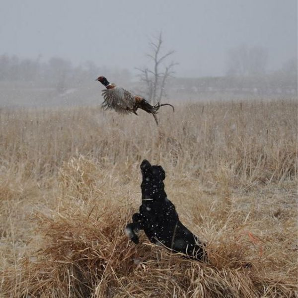 Justice flushing a pheasant.