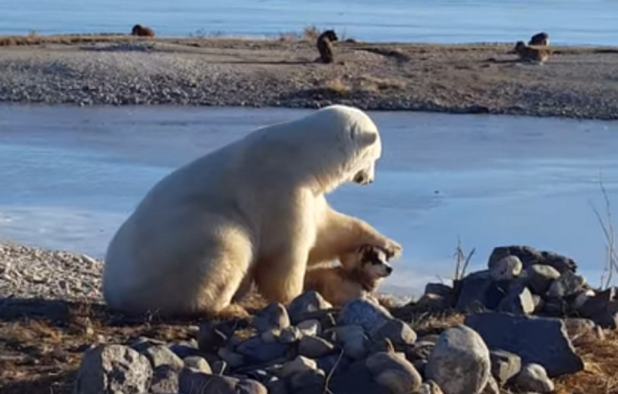 Polar Bear Befriends Dog and Even Learns How to Pet it.