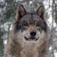 Michigan Senate Approves Wolf-Hunting Bill