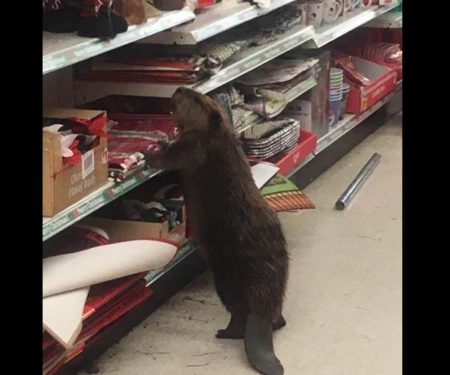 Beaver Caught Destroying Christmas Section