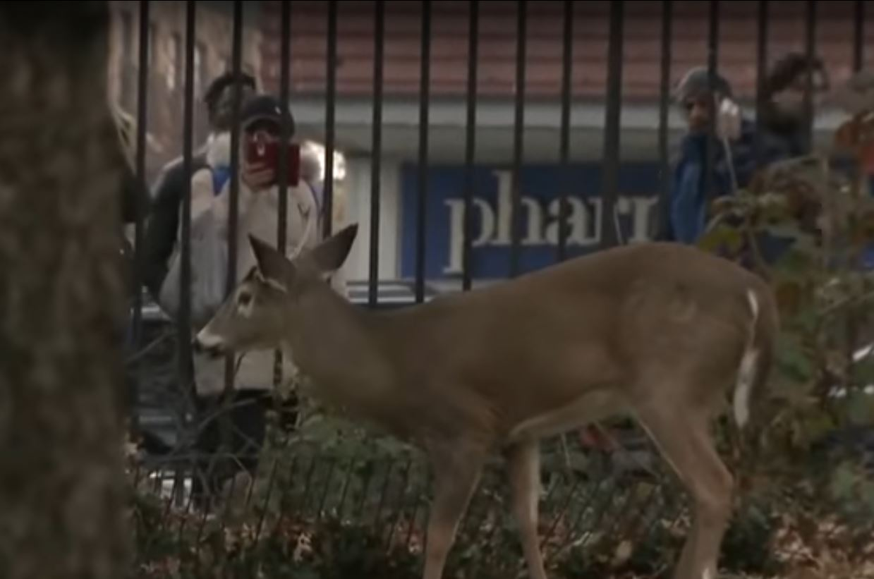 Video Appearance Of Whitetail Deer In Manhattan Outdoorhub
