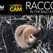 Raccoon Takes Over Eagle Nest