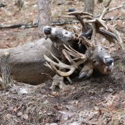 Two Trophy Bucks Fight to the Death