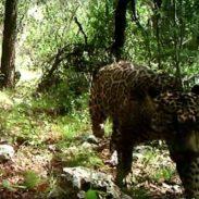 Wild Jaguar Caught on Camera in the U.S.
