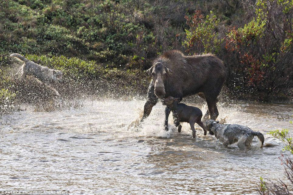 Moose Defends Young Calf Against Wolf Pack
