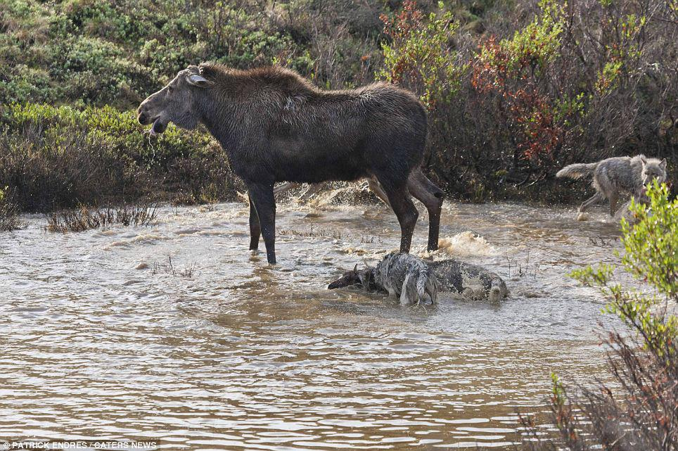 Mother Moose Defends Young Calf