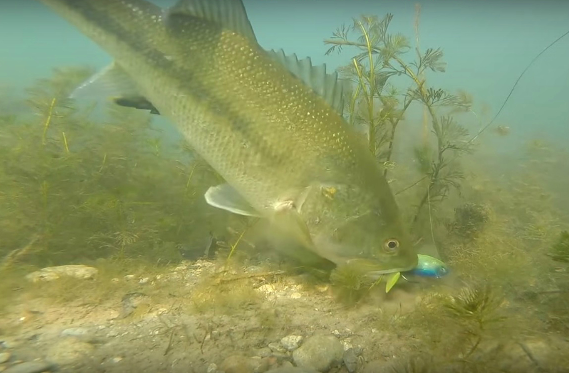 cool underwater video bed fishing for largemouth bass