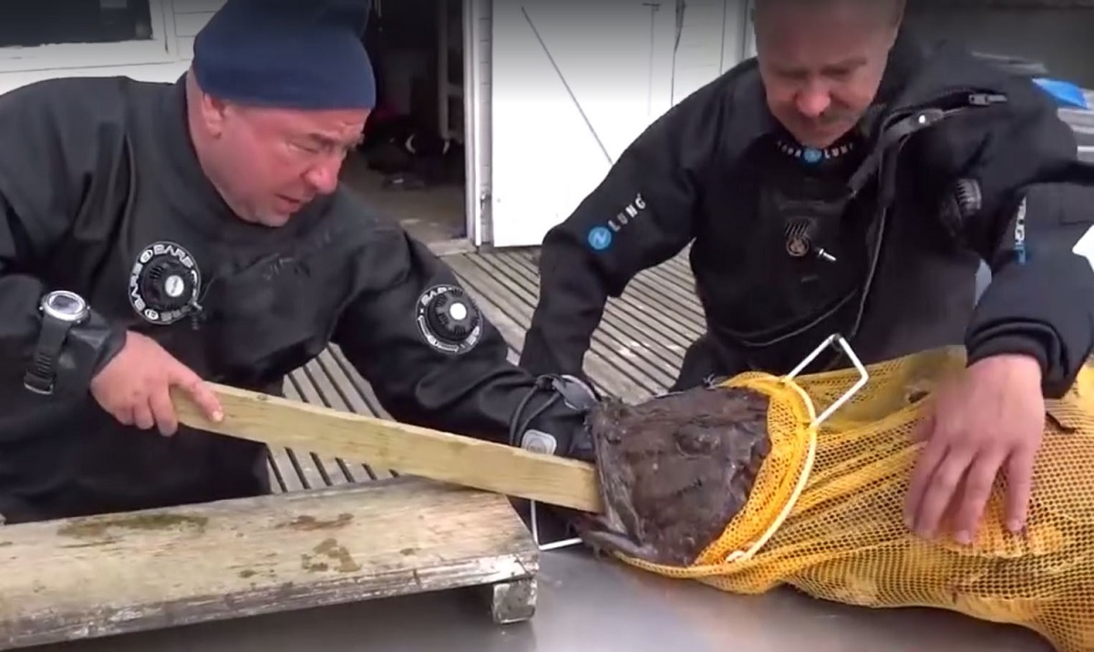 Video Monkfish Tries To Swallow Divers Entire Arm -5556