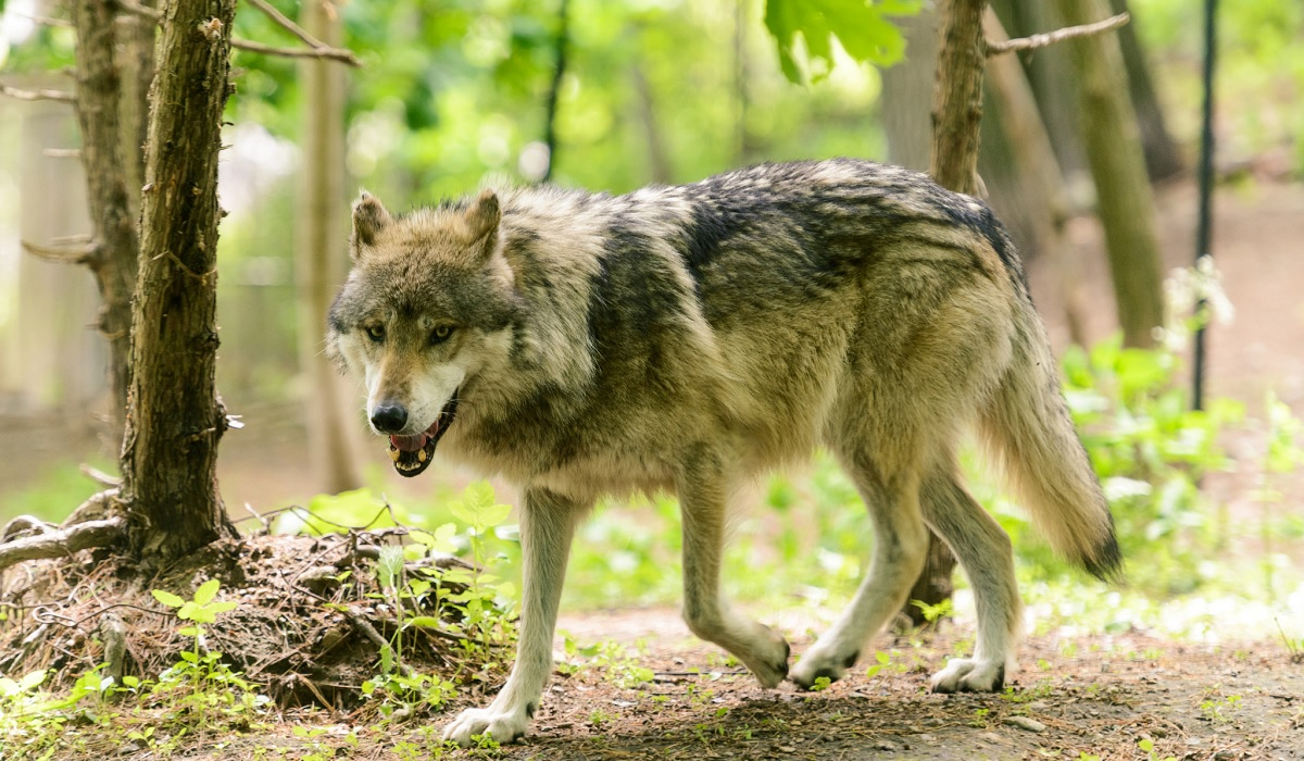 Wolves under endangered species protection