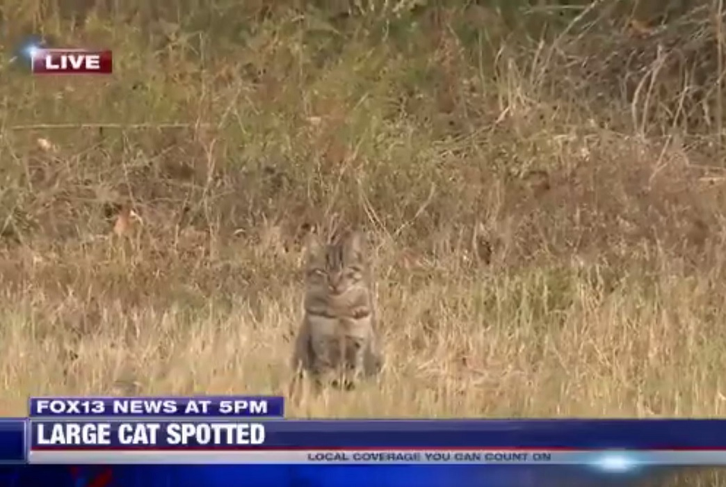 Common kitty photobombs TV report of cougar sighting