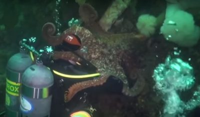 Pacific Octopus