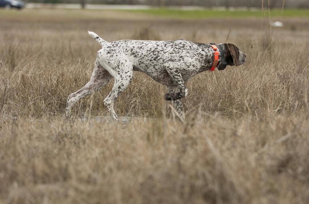 Best Hunting Dog Breeds
