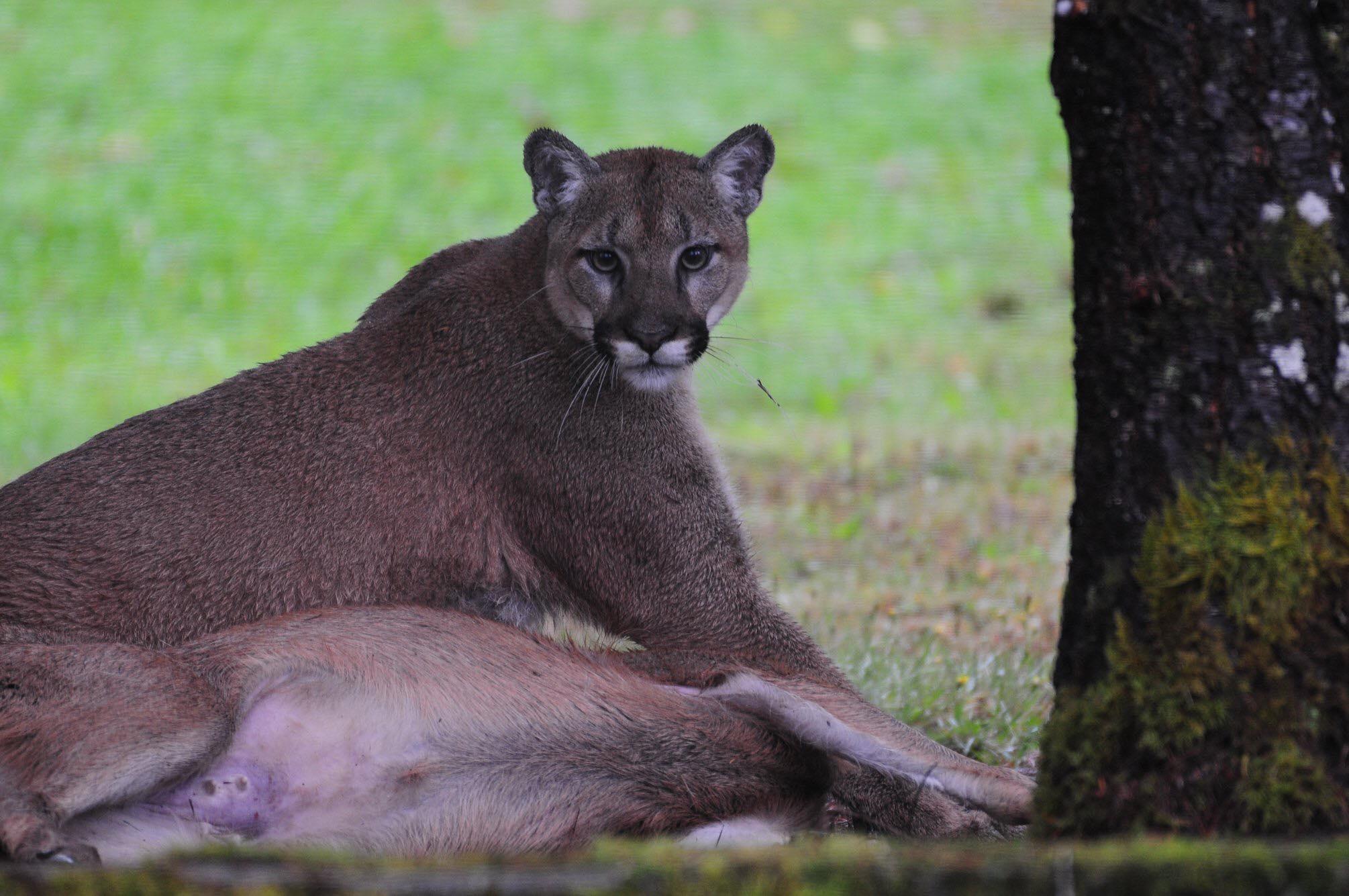 Cougar Mauling