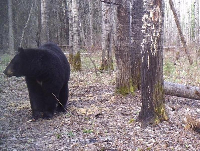 Black Bear Hunt Saskatchewan 1