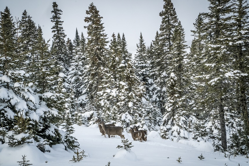 Anticosti Island Whitetails