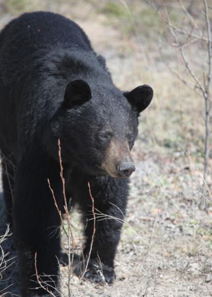 Manitoba Black Bear 3