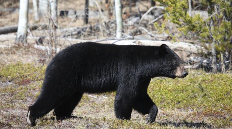 Manitoba Black Bear 6
