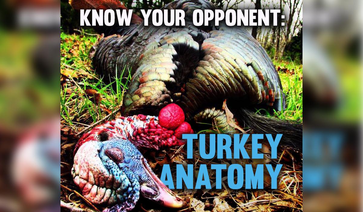 Wild Turkey Anatomy and Physiology OutdoorHub