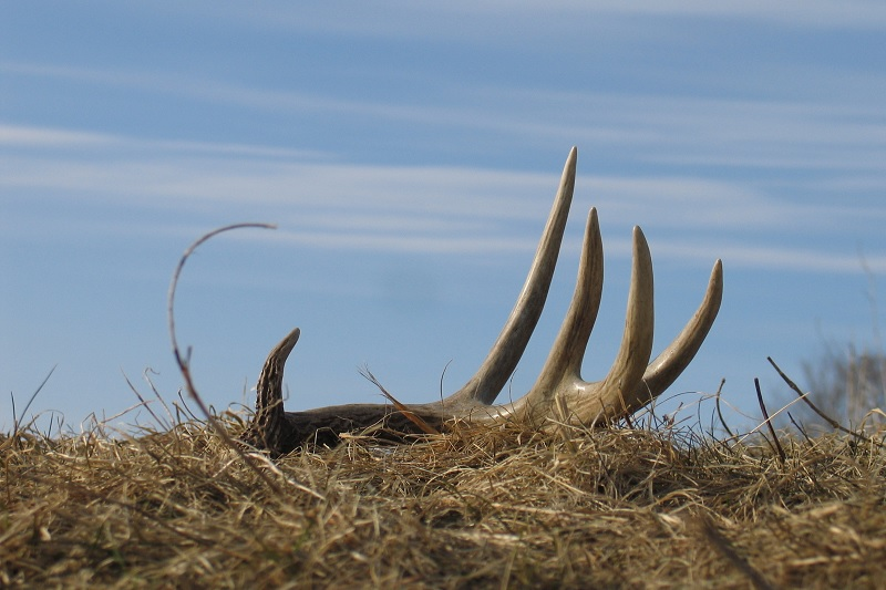 Shed Antler Hunting 101: Tips & Tricks to Shed Hunting Domination
