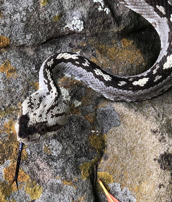 Ornate Blacktail Rattlesnake