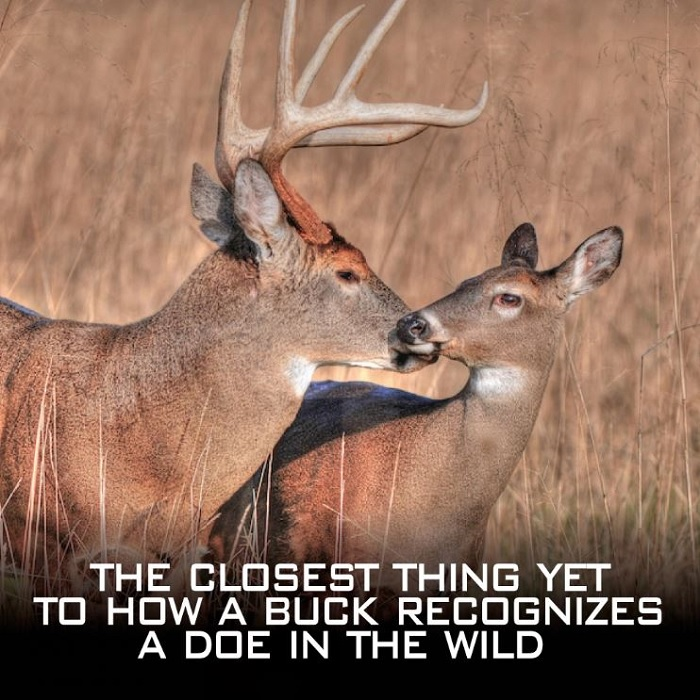Whitetail Body Scent