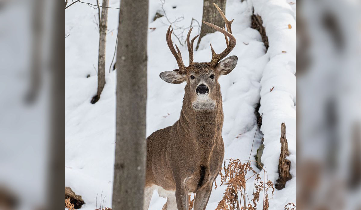 Three Antlered Michigan Buck Photographed By Former