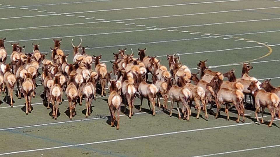Elk Swarm