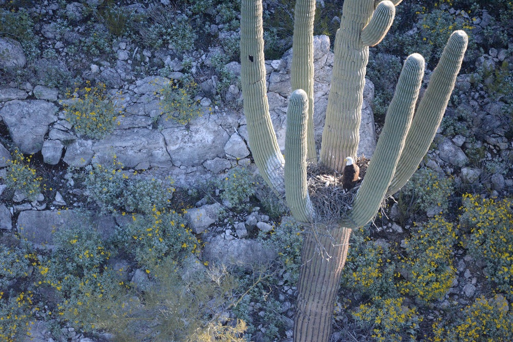 Saguaro Eagle Nest