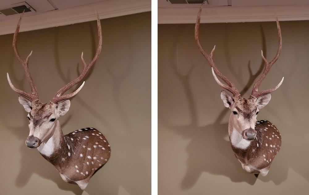 Texas Axis Deer
